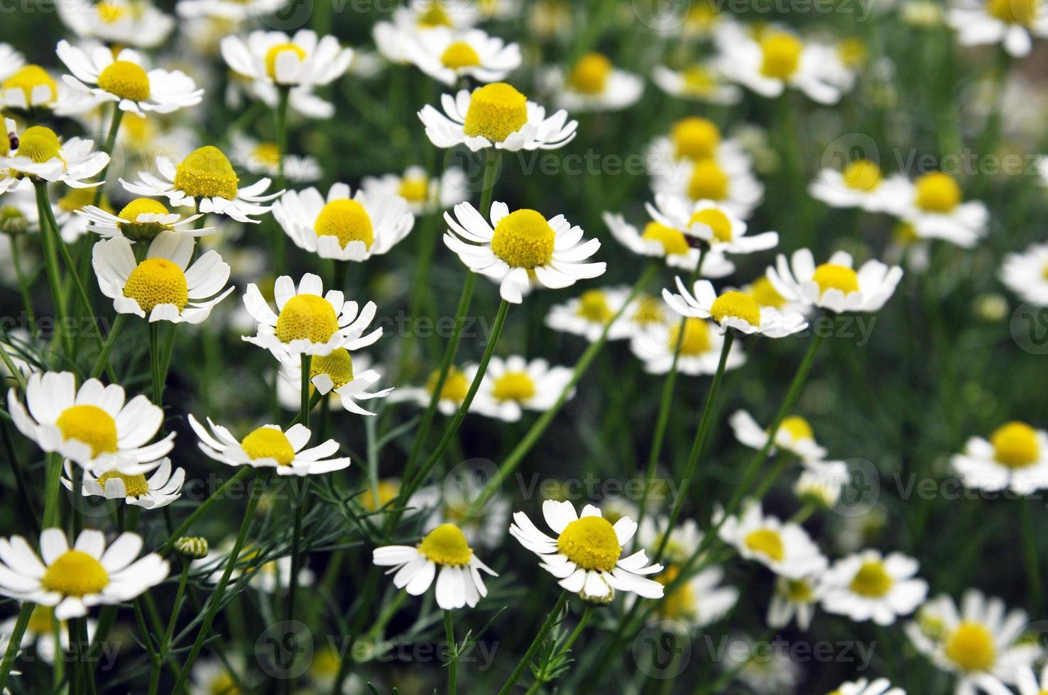 fleurs de camomille médicinales photo