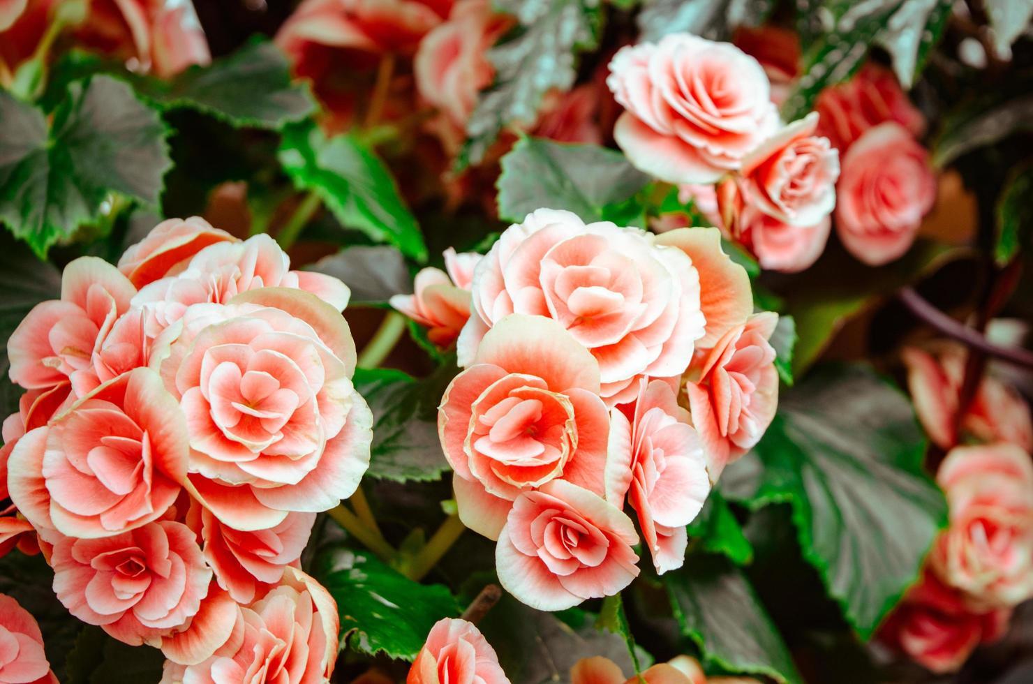 fleurs pétales roses photo