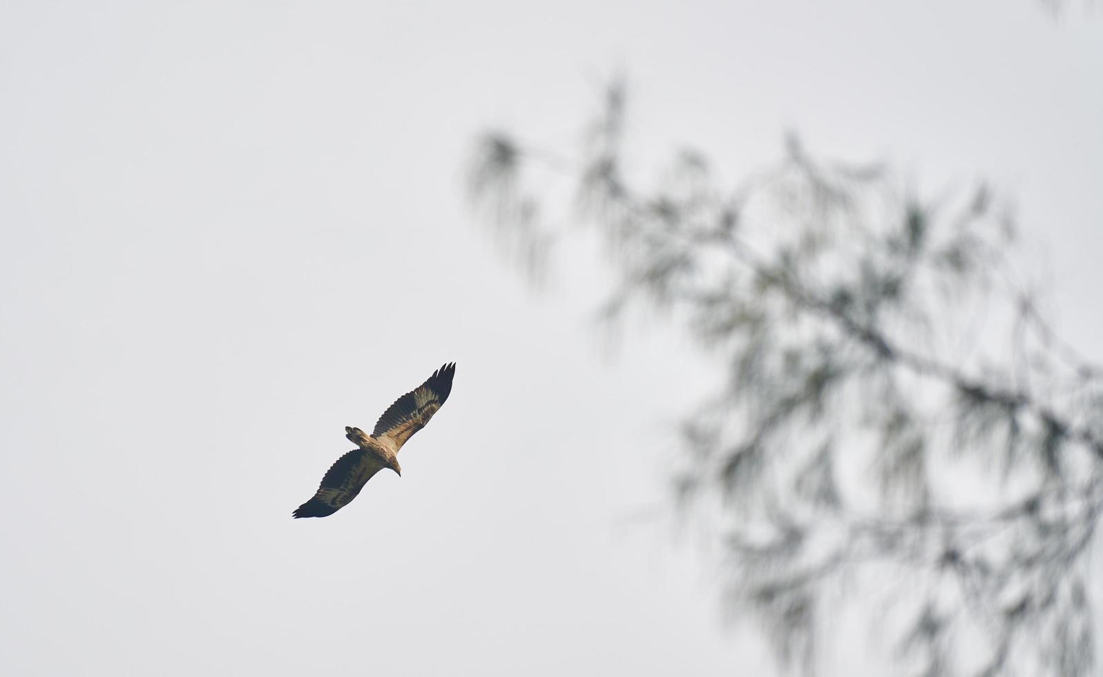faucon volant sous un ciel gris photo