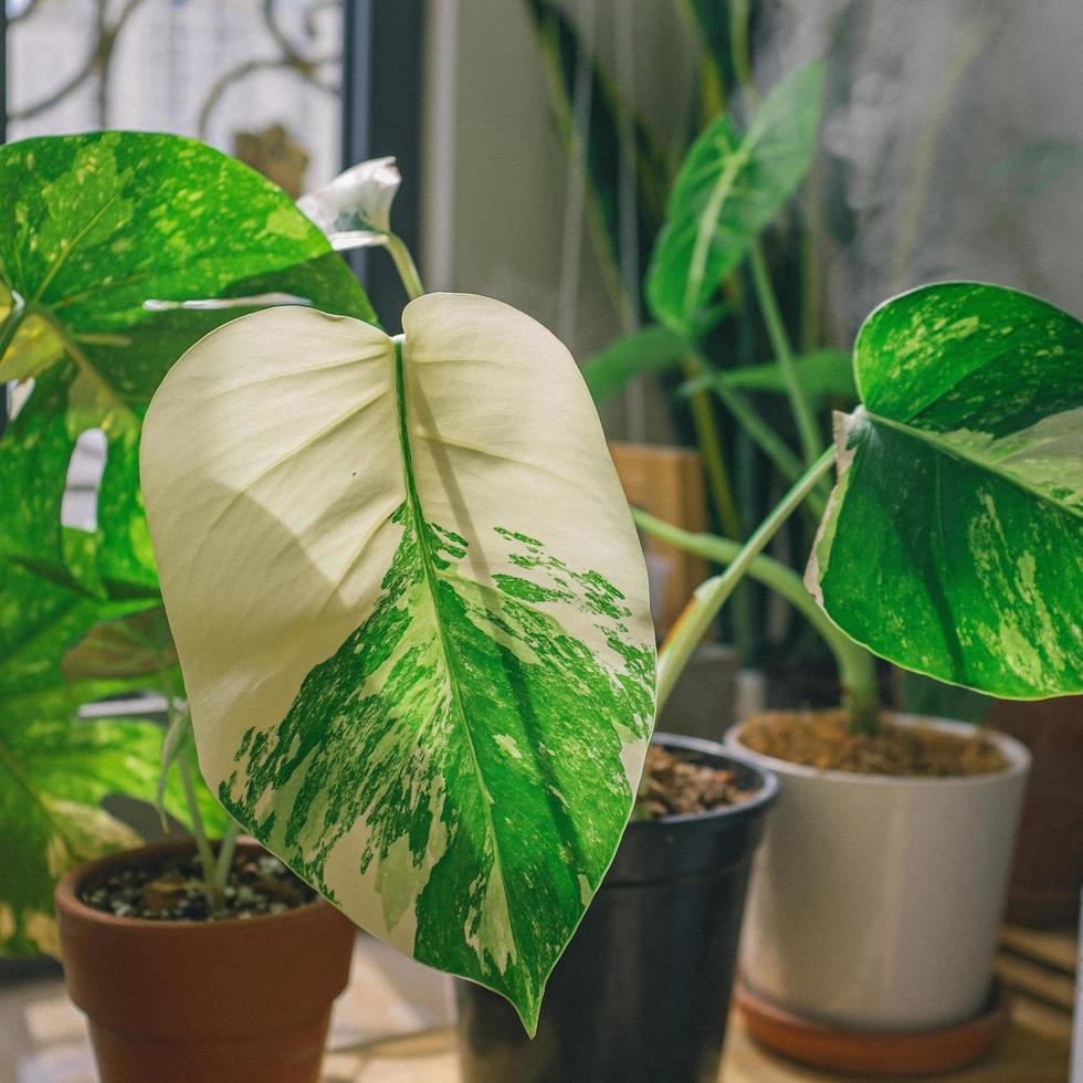 plante à feuilles blanches et vertes photo