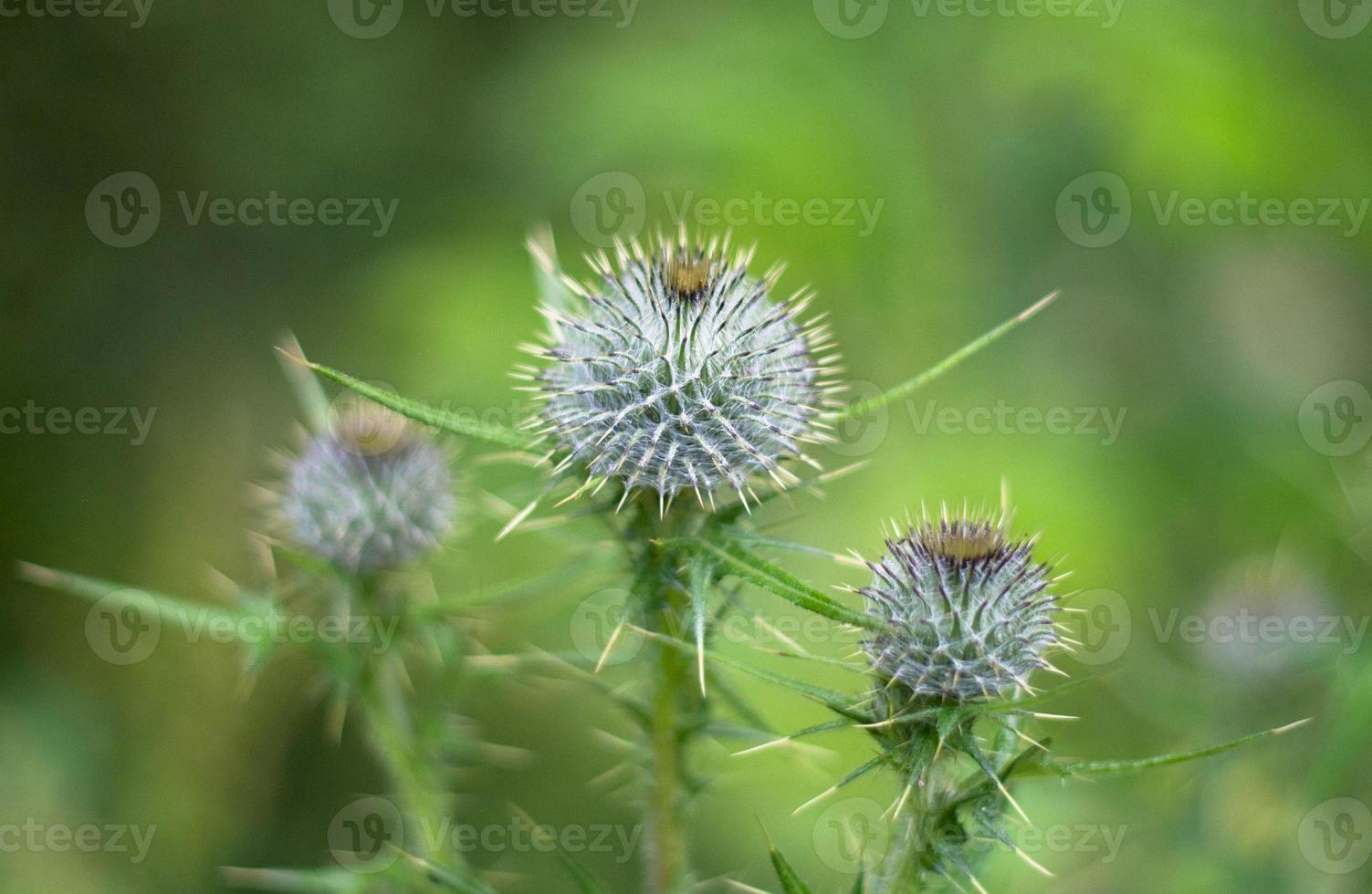 fleur - chardon photo