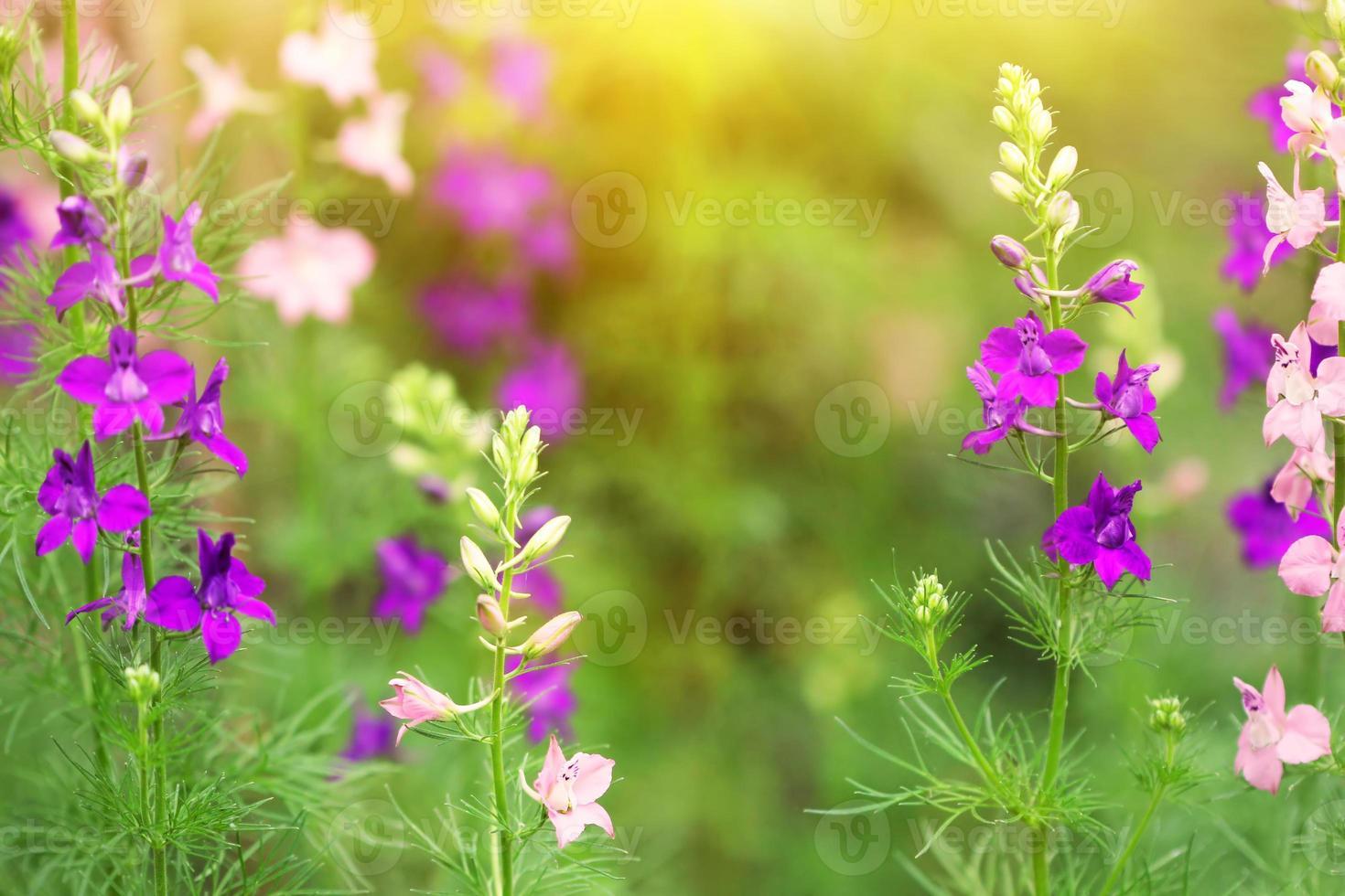 fleurs de delphinium bleu et rose photo