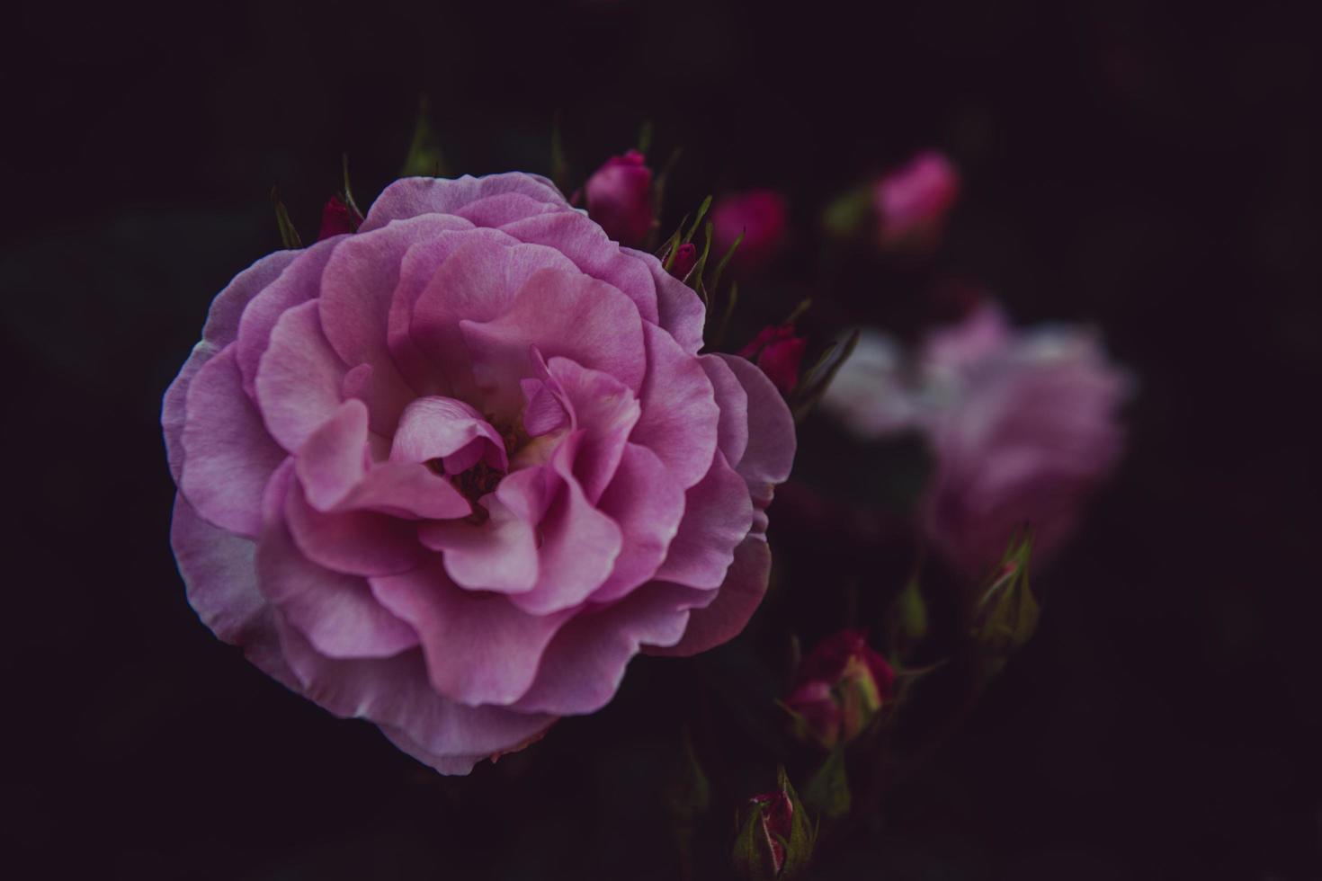 fleur rose discrète photo