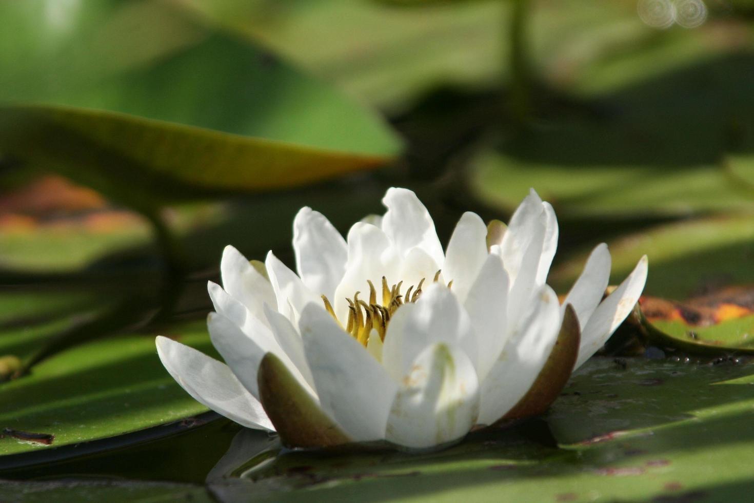 nénuphar blanc dans l'étang photo