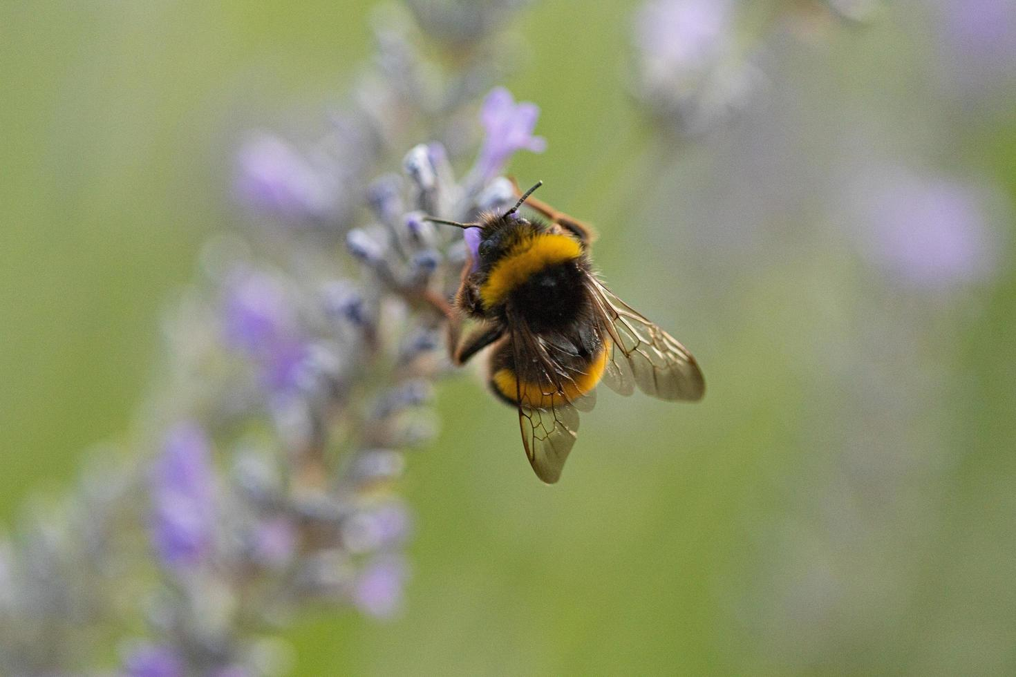 une abeille pollinisatrice de lavande photo