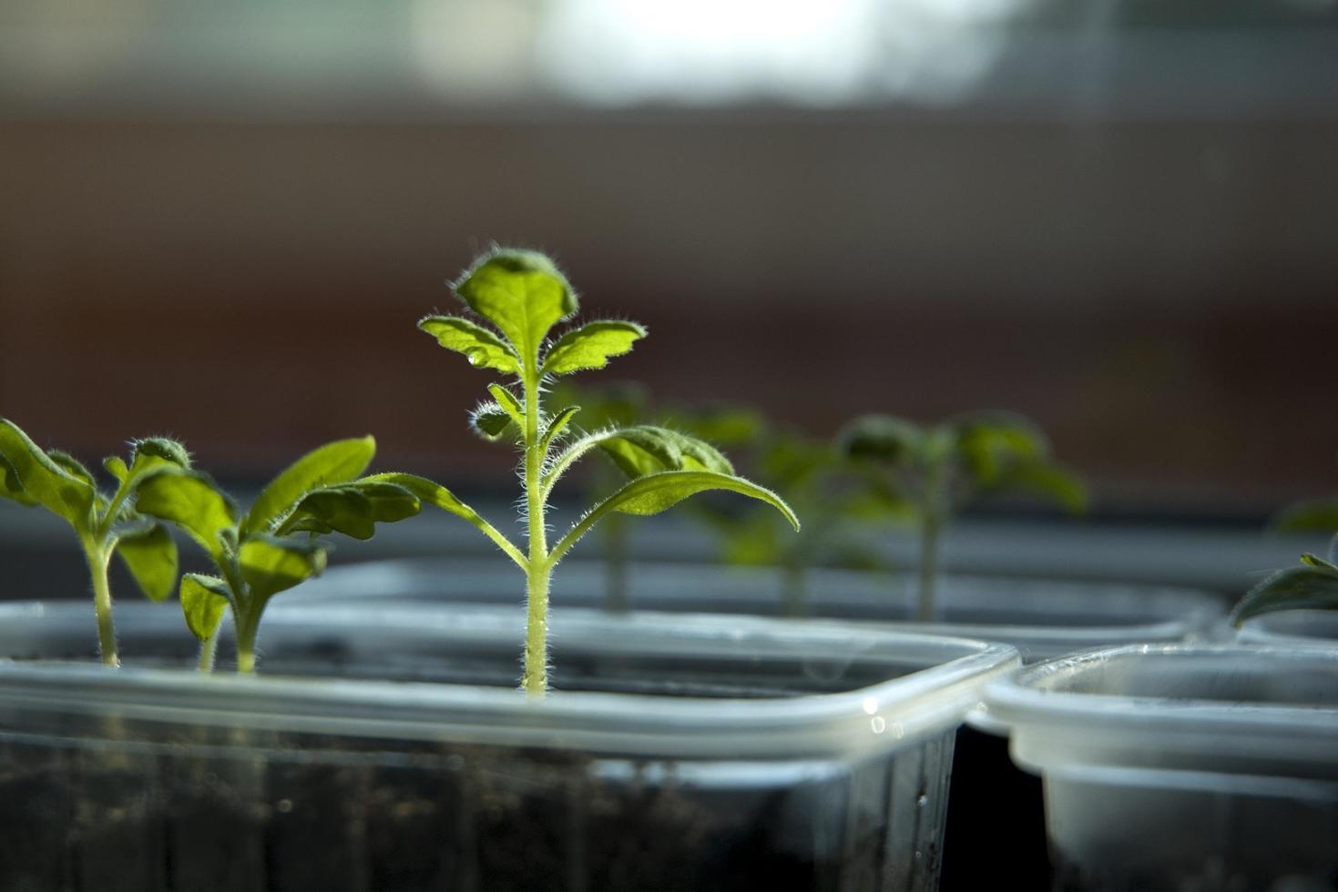germination des feuilles des plantes photo