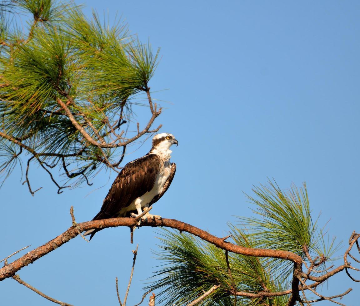 balbuzard pêcheur sur un arbre photo