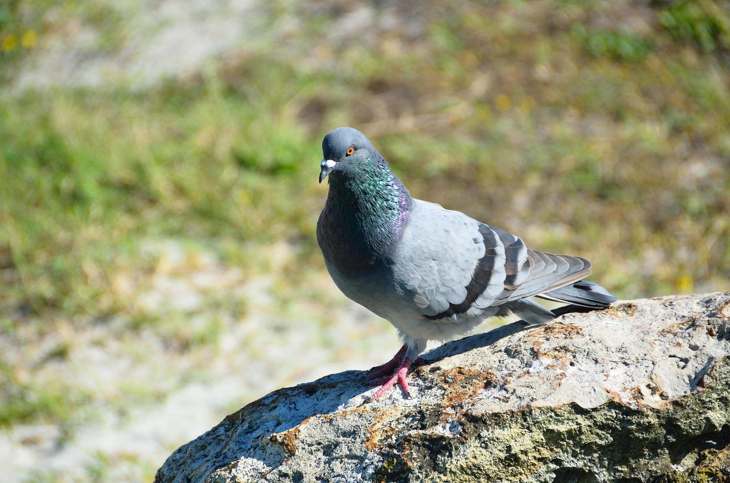 pigeon sur un rocher photo