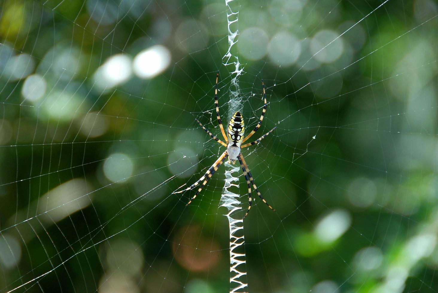 araignée dans le jardin photo