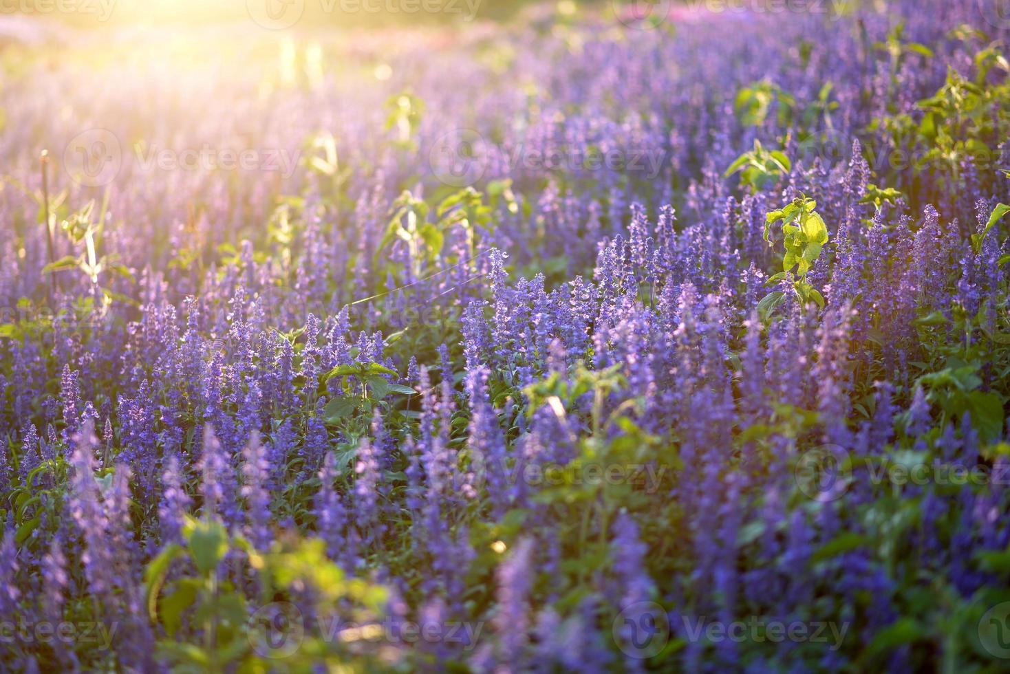 Fleurs de salvia bleu sur l'éclairage juste du soir du soleil photo
