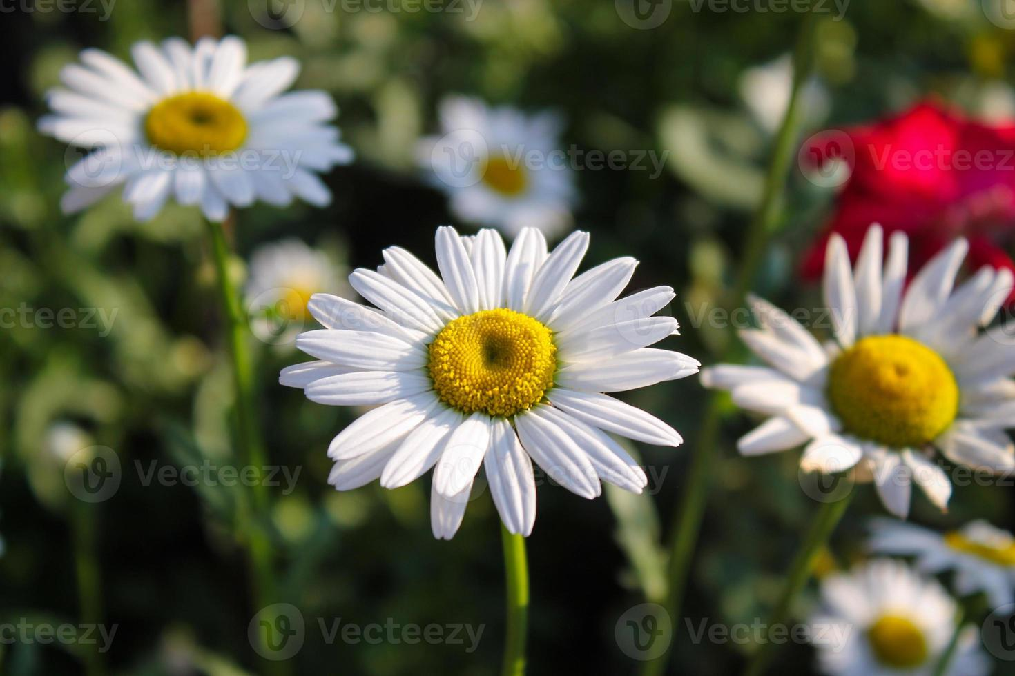 Marguerite photo