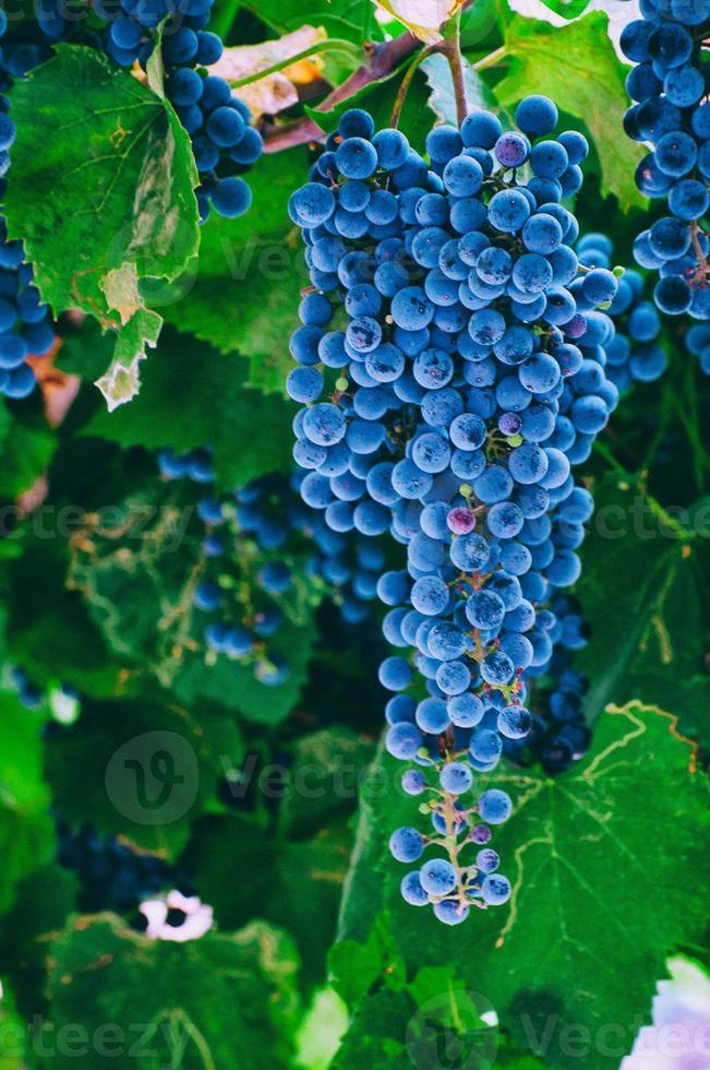 les raisins photo