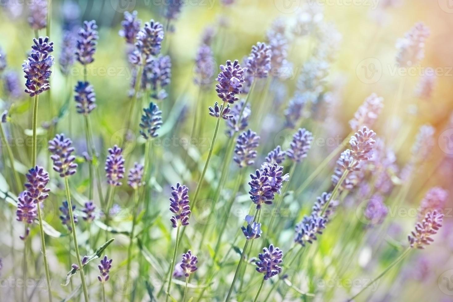 belles fleurs de lavande photo