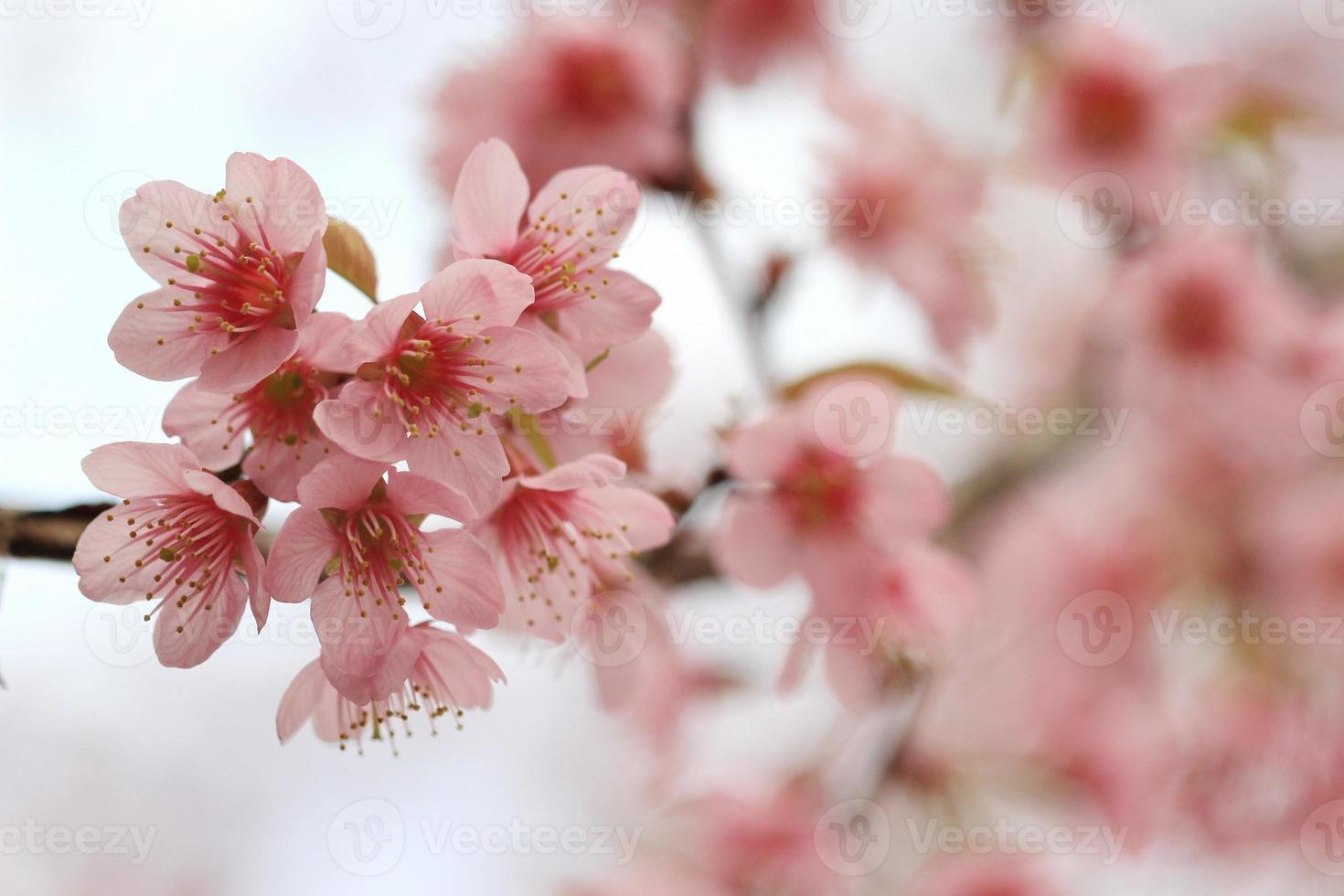 Close up detail sakura rose photo