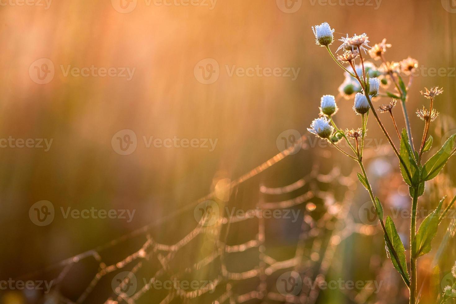 camomille avec lever de soleil photo