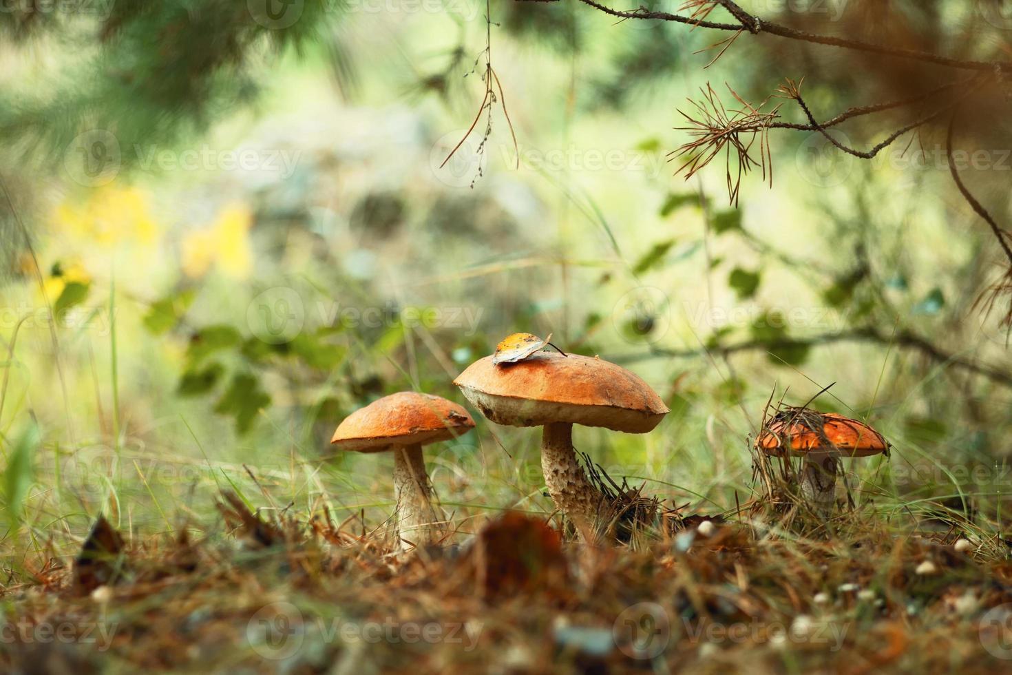 Bouchon orange bolets poussant dans la forêt verte photo