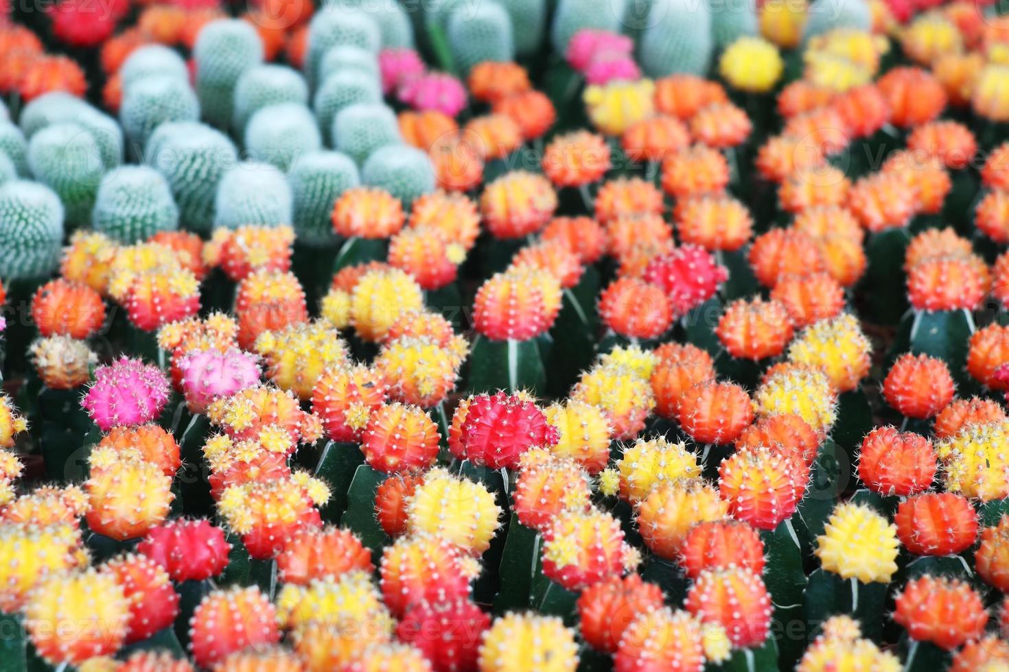cactus coloré. photo