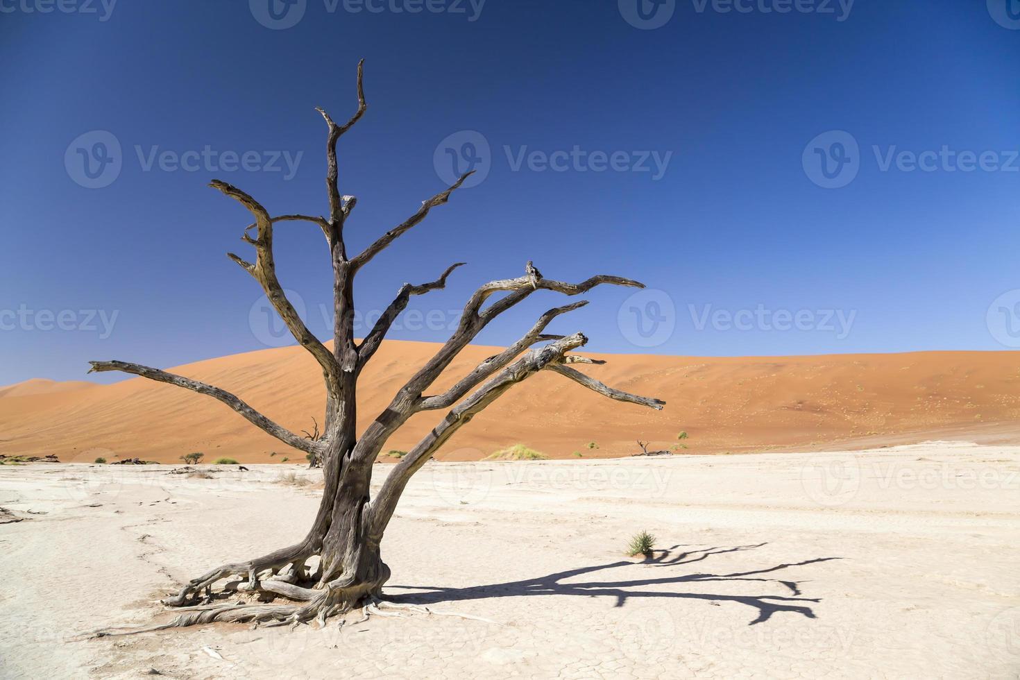 arbre épineux de chameau - deadvlei photo