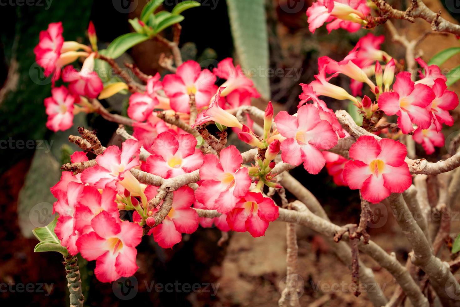 Adenium obesum, rose du désert rose qui fleurit en Thaïlande photo