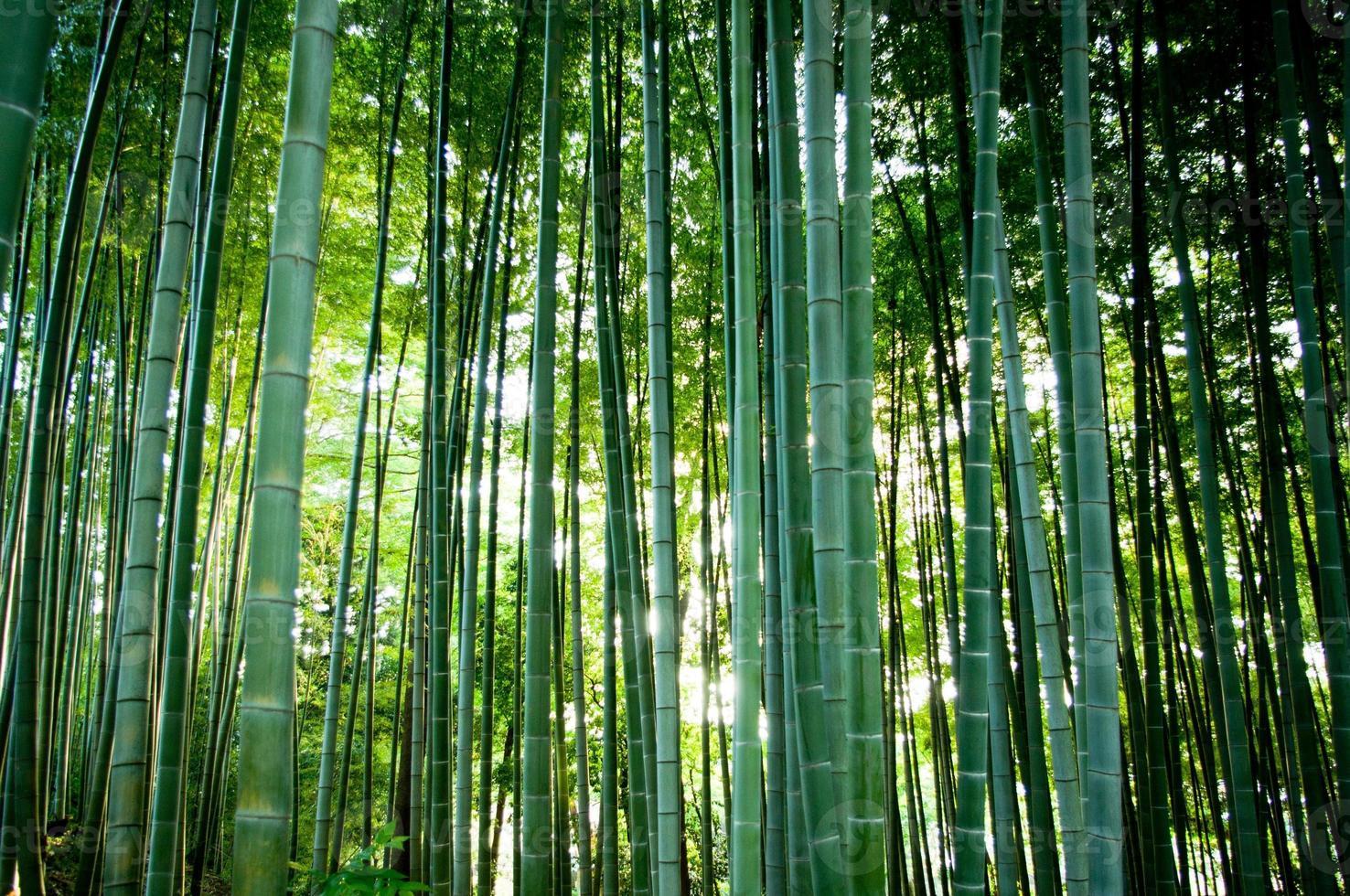 foret de bambou photo