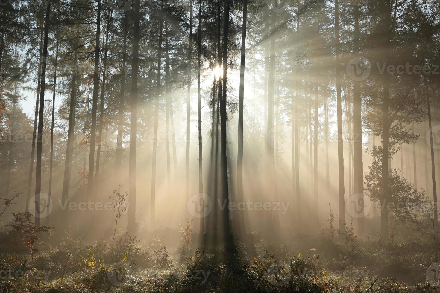 forêt de conifères photo
