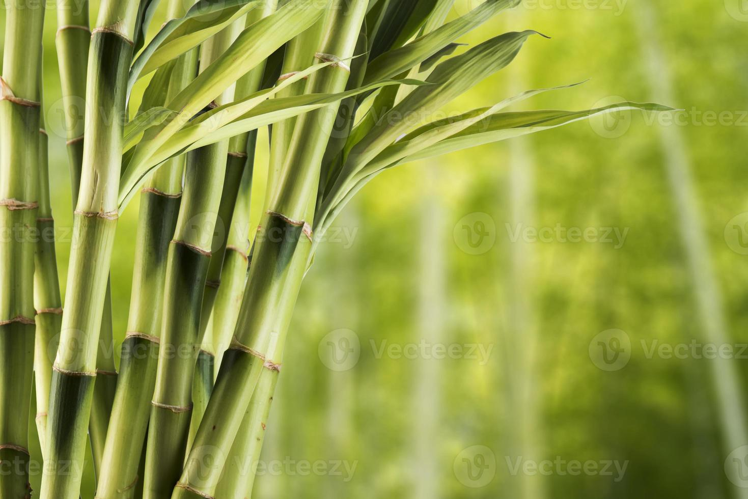 bambou avec fond de forêt photo