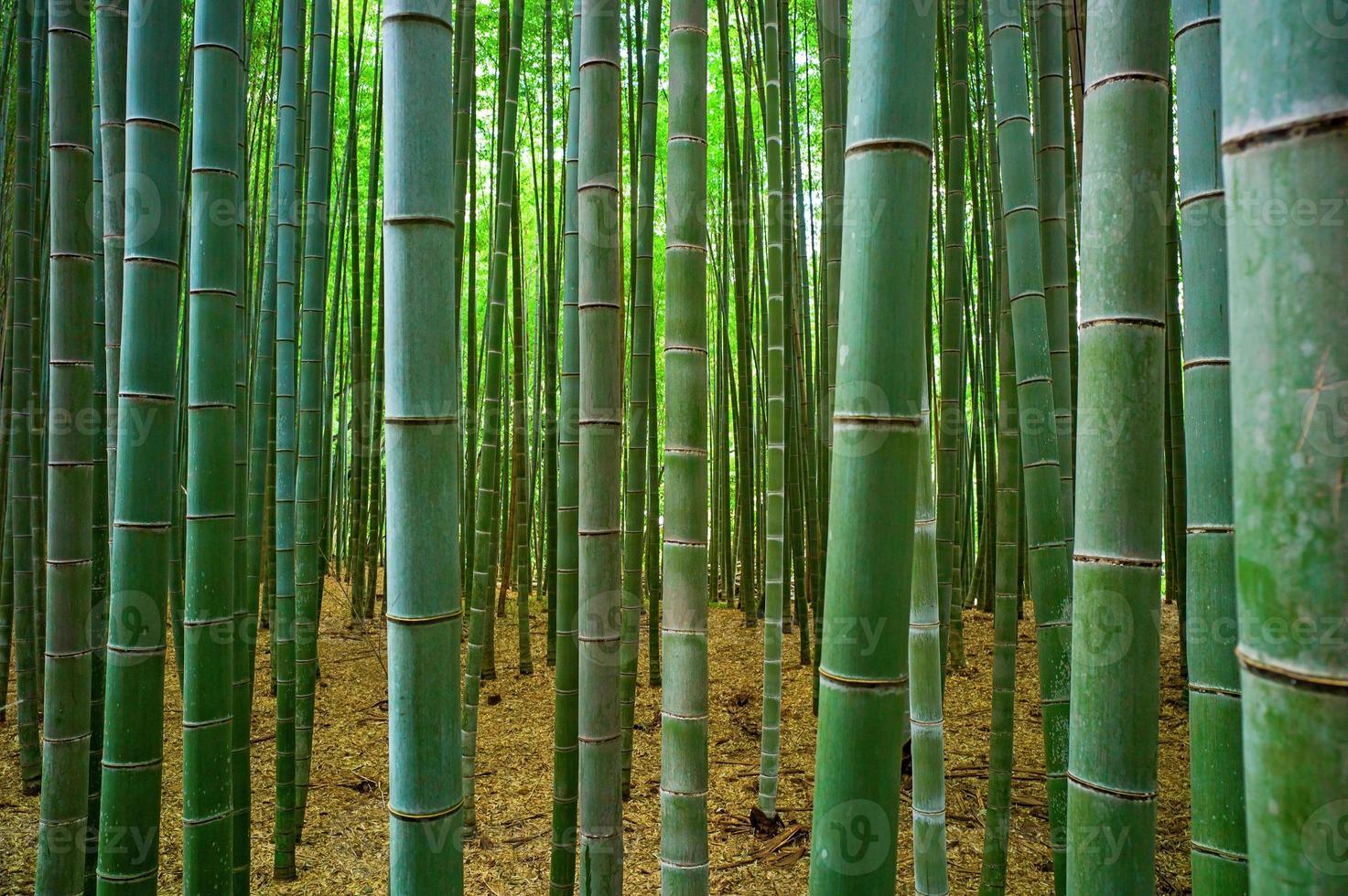 forêt de bambu photo