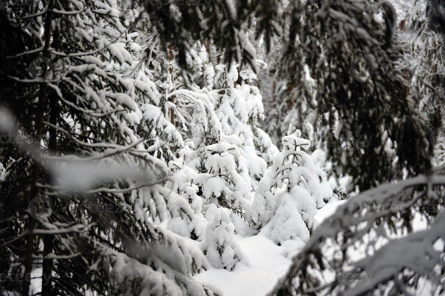petite épicéa dans la forêt enneigée photo
