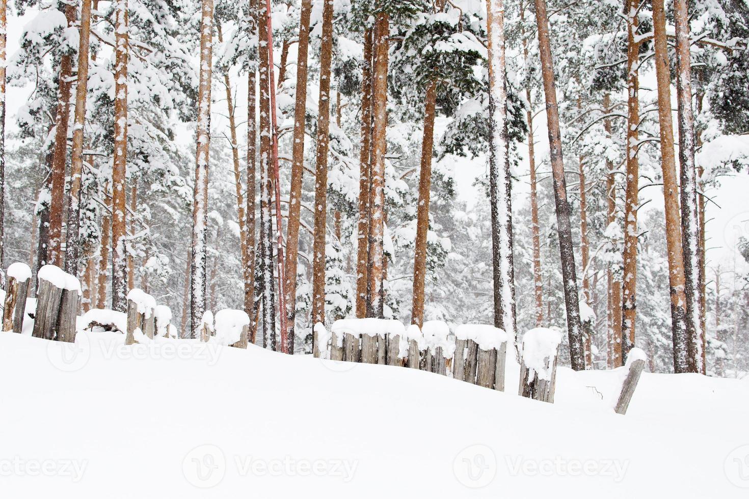 forêt d'hiver russe dans la neige photo
