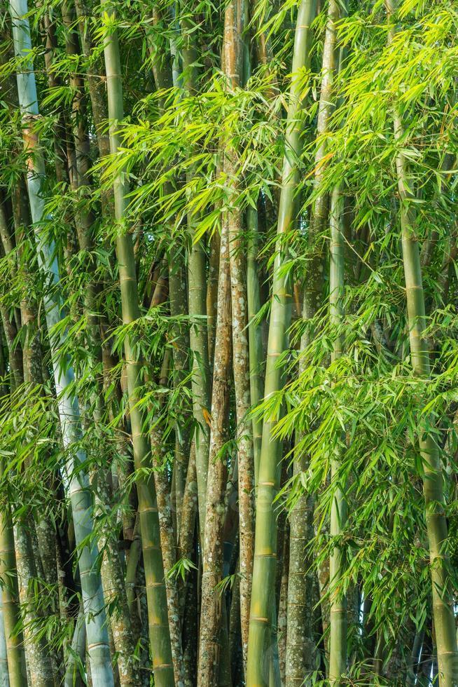 Grand bosquet de bambous frais en forêt photo