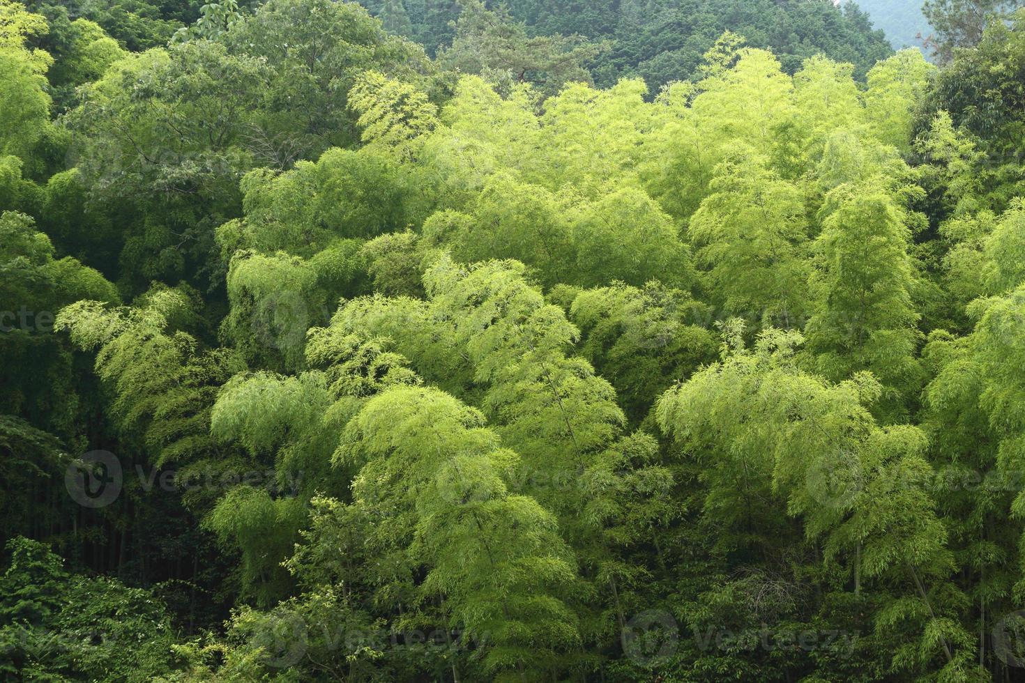 forêt de bambous du début de l'été photo