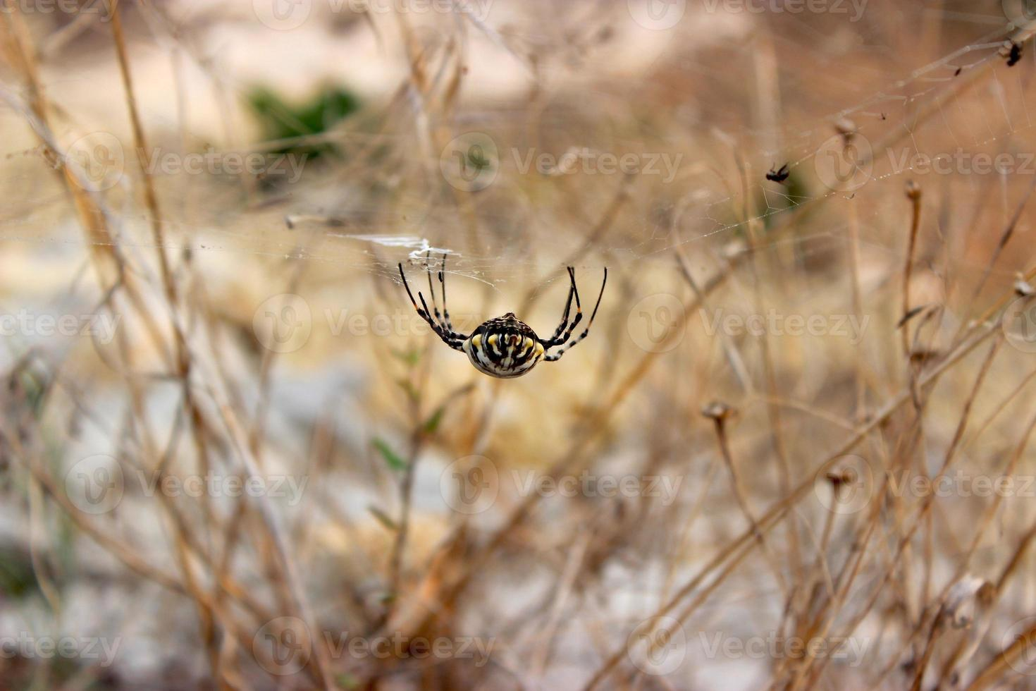 araignée souriante photo