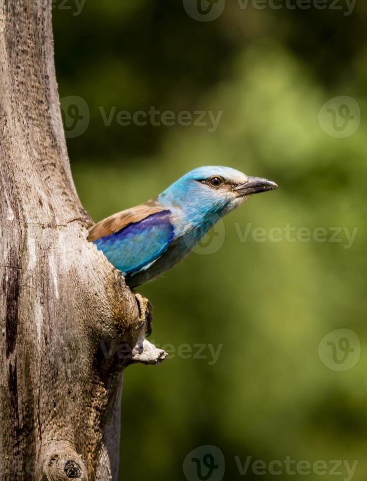 oiseau rouleau européen photo