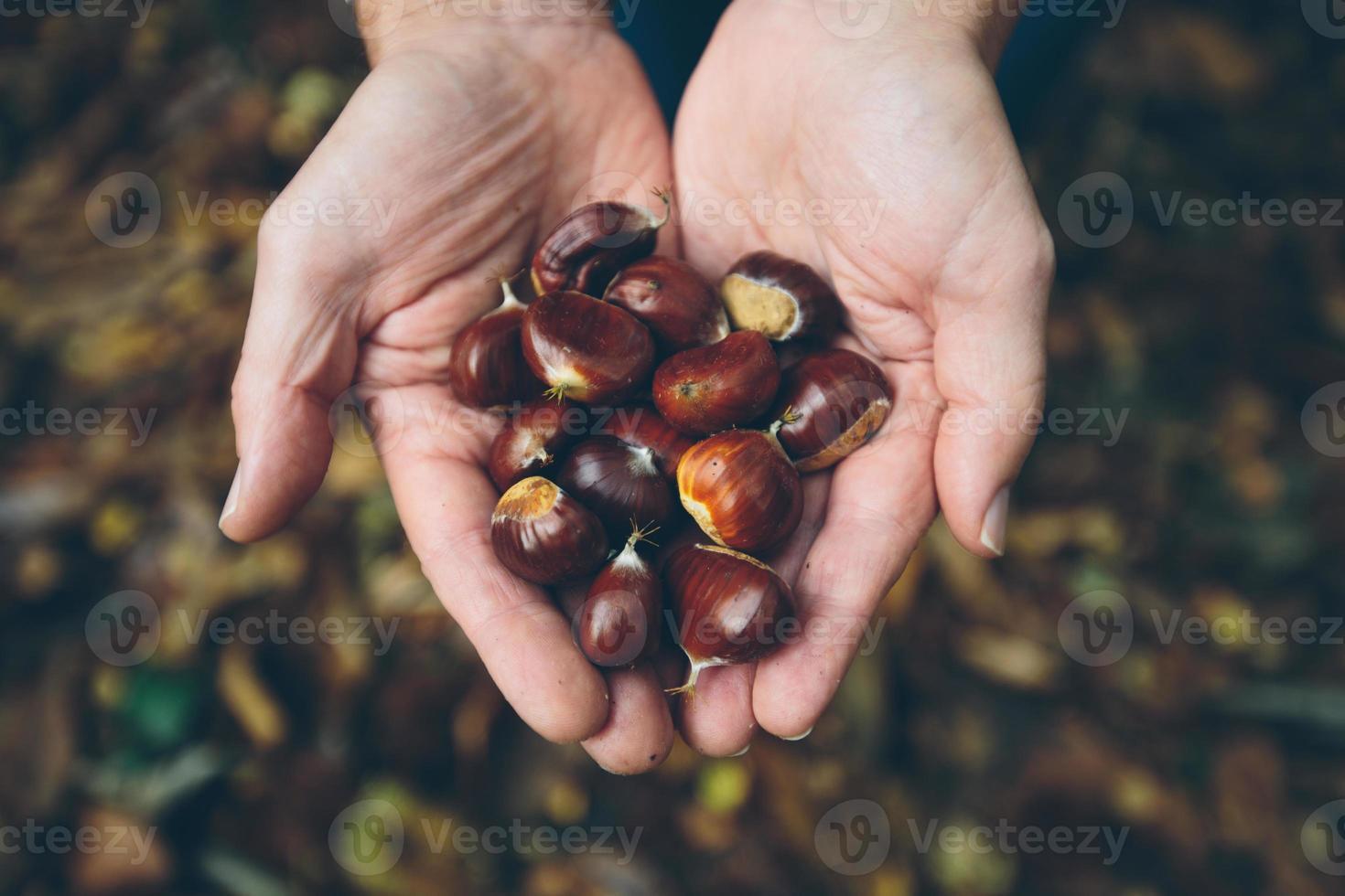 Homme tenant des châtaignes fraîches de la forêt de campagne anglaise photo