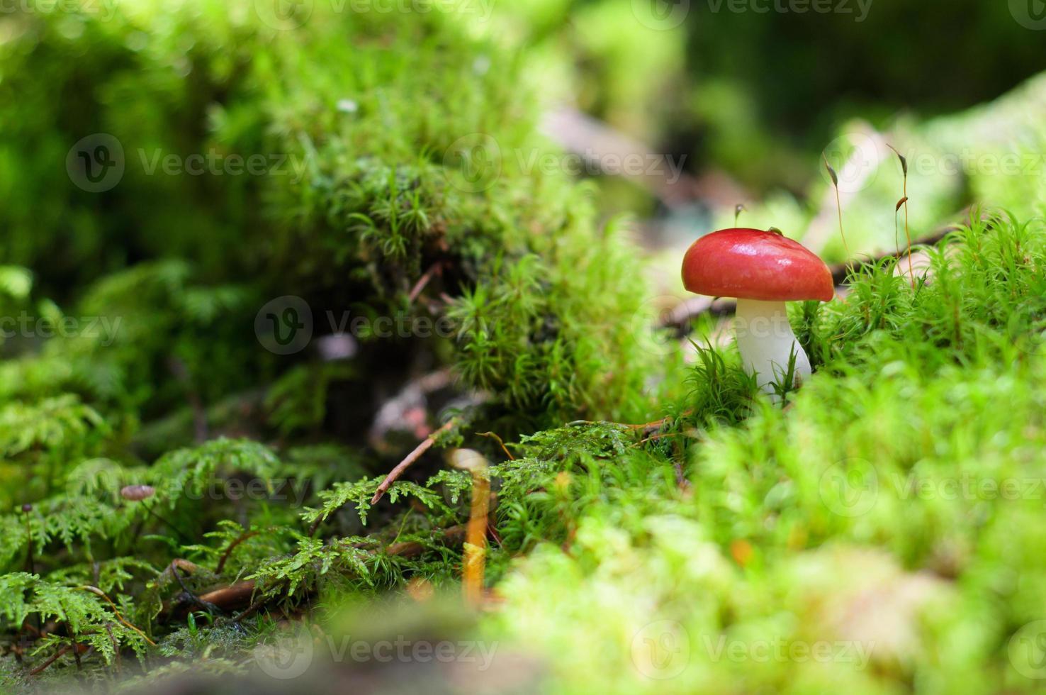 champignon rouge, champignons sur mousse dans la forêt photo