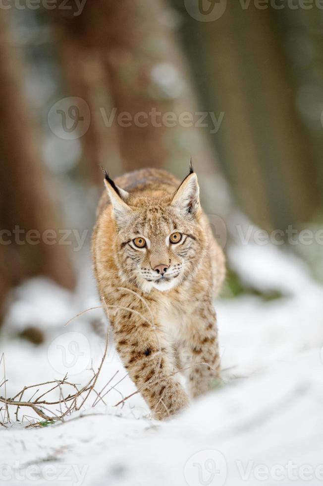 Lynx eurasien cub marche sur la neige en forêt photo