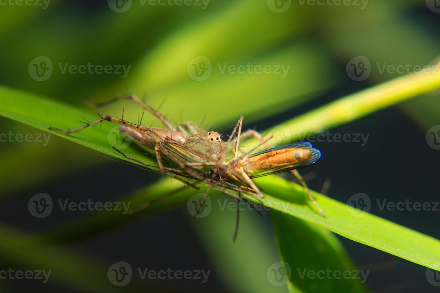 petite araignée sur la feuille avec proie capturée photo