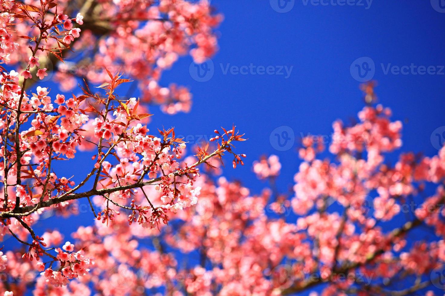 Les fleurs de cerisier fleurissent en Thaïlande au parc national de doi inthanon photo