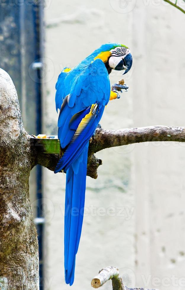 perroquet ara, assis sur une branche. photo