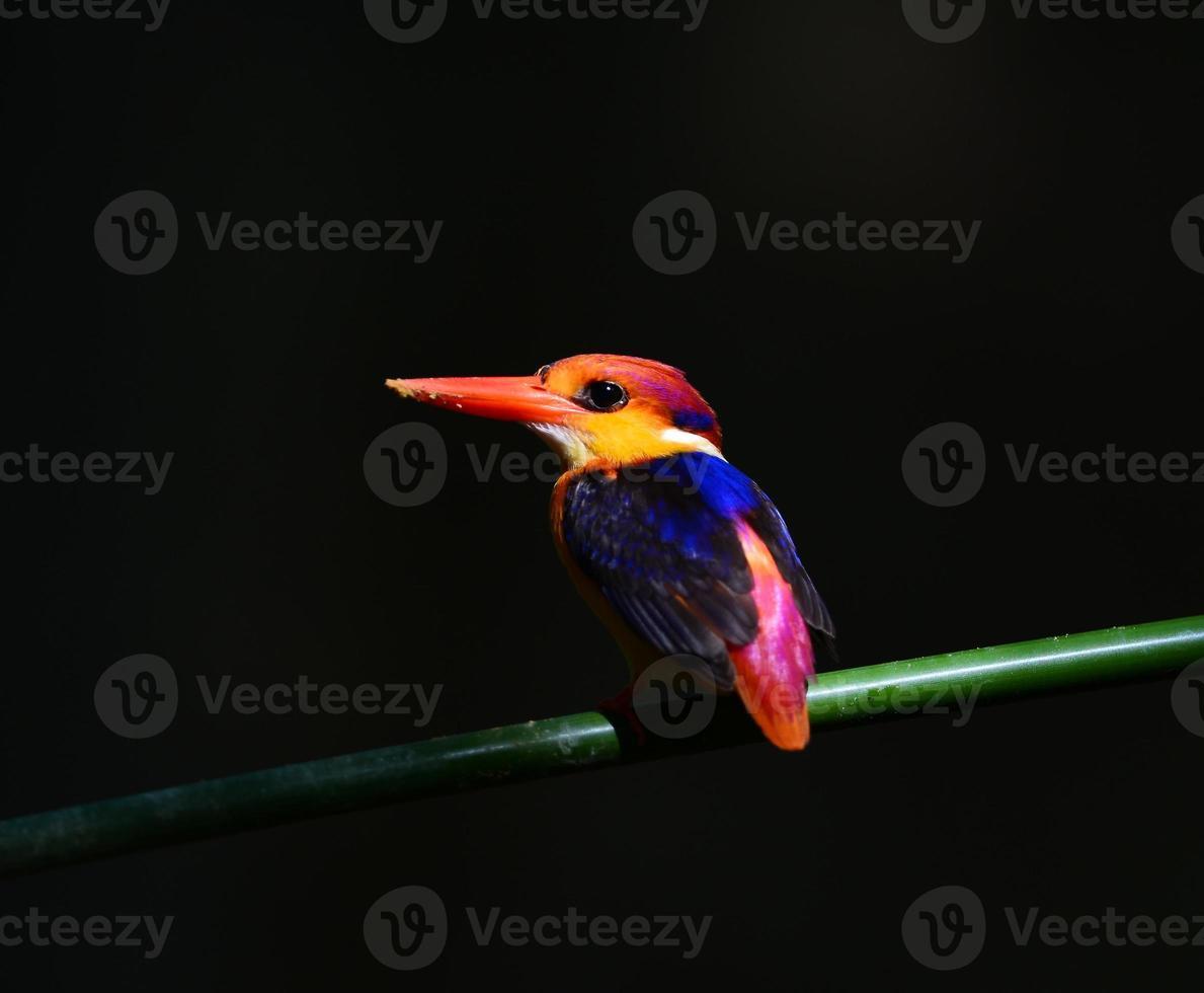 oiseau coloré (martin-pêcheur à dos noir) dans la nature, photo