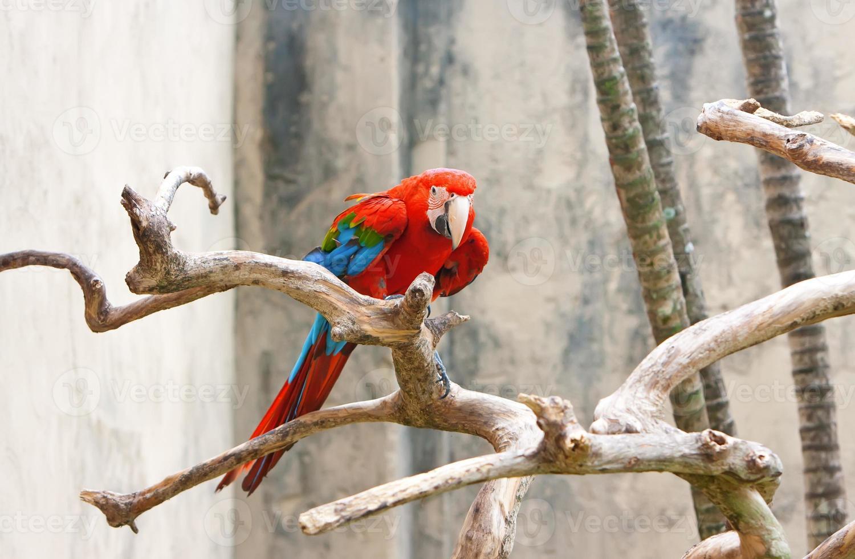 perroquet ara rouge vif, assis sur une branche. photo