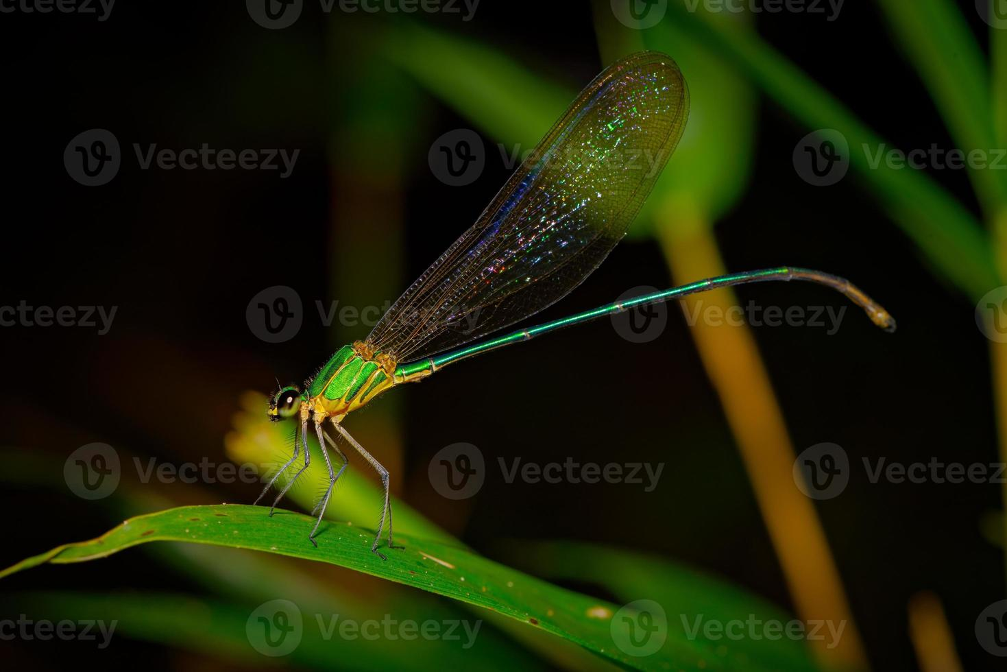 Gloire de la forêt à ailes claires (vestalis gracilis), profil, face à gauche, centrée photo