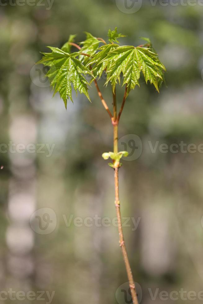 Les jeunes feuilles vertes de l'érable se bouchent photo