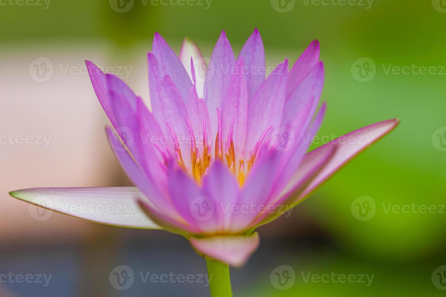 fleur de lotus pourpre, Thaïlande photo