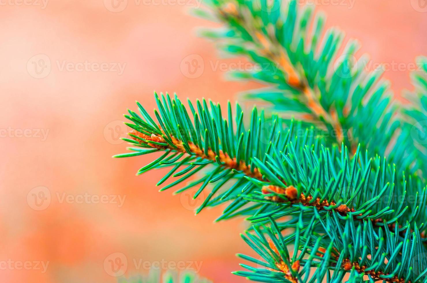 belles branches de sapin photo