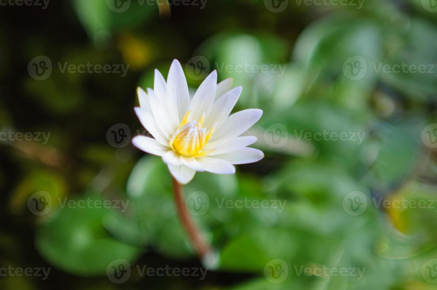 lotus blanc sur la rivière photo