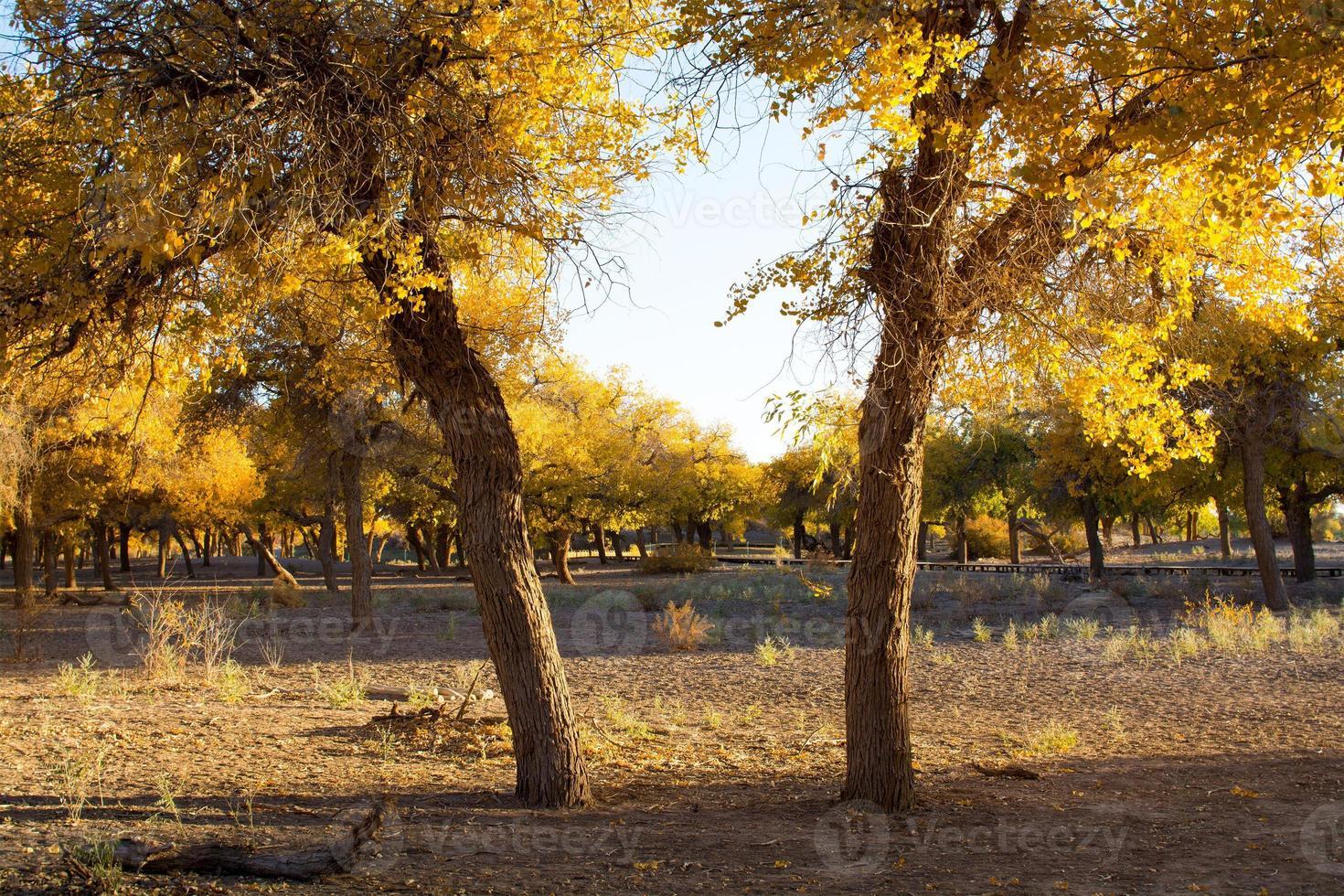 Les peupliers en automne, Ejina, Mongolie intérieure, Chine photo