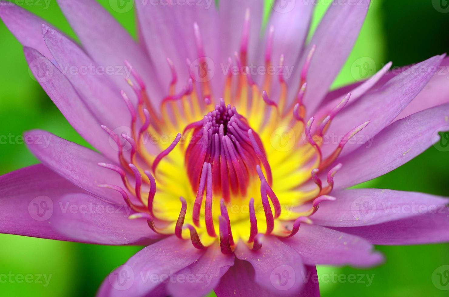 lotus rose sur la rivière photo