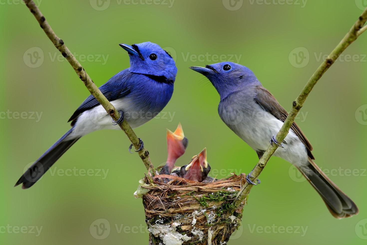 Famille de monarque à cou noir (moucherolle bleu), la belle b photo