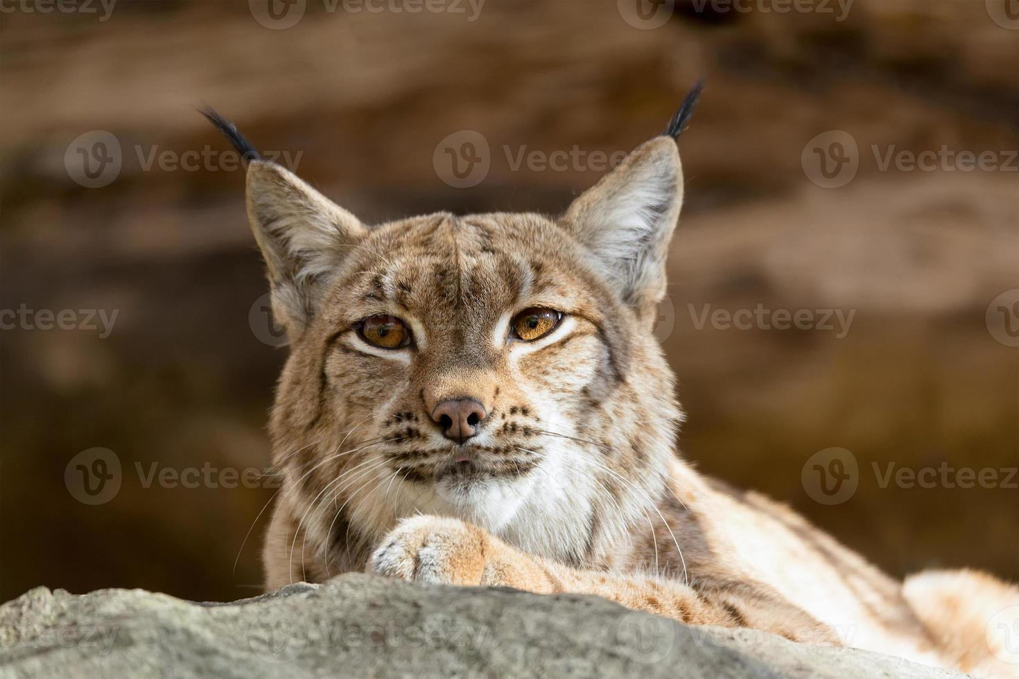 Portrait de lynx à l'automne photo